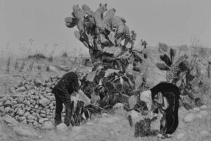 Samah Shihadi, Cactus Harvest #1, 2017, charcoal on paper, 56 x 76 cm