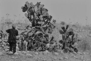 Samah Shihadi, Cactus Harvest #2, 2017, charcoal on paper, 33 x 48 cm